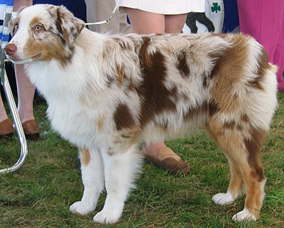 Australian Shepherd Puppies on Australian Shepherd Dog   Herding Dog Breeds From The Online Dog