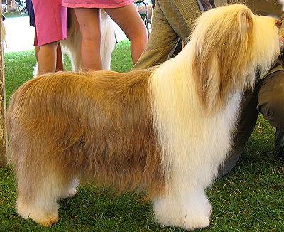 Bearded Collie Dog Herding Dog Breeds From The Online