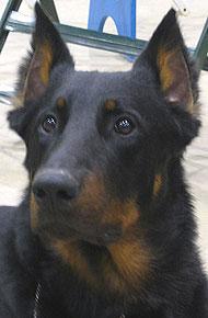 Beauceron Dog Herding Dog Breeds From The Online Dog