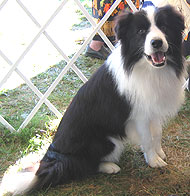photo of a border collie dog