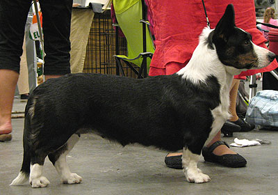 Cardigan Welsh Corgi dog photo