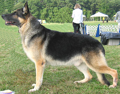 ������� �� ��� ����� ������ ������ german_shepherd_h02.