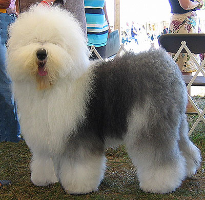 Old English Sheepdog Dog Breed