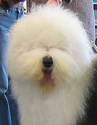 photo of an old english sheepdog