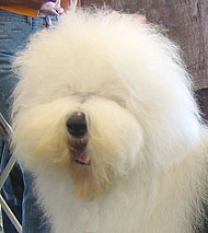 what an old english sheepdog looks like