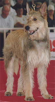 Picardy Shepherd Dog Herding Dog Breeds From The Online