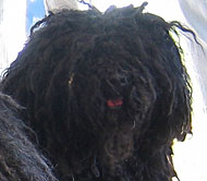 what a puli dog looks like
