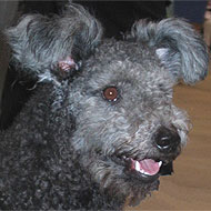 photo of a pumi dog