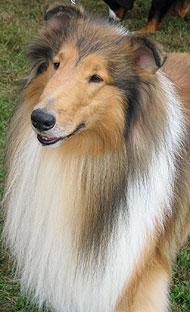 Collie Dog Herding Dog Breeds From The Online Dog