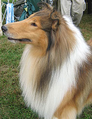 rough coated collie dog