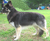 photo of adult shiloh shepherd dog