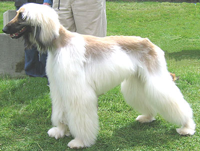 free downloading pics of afghan dog wiki