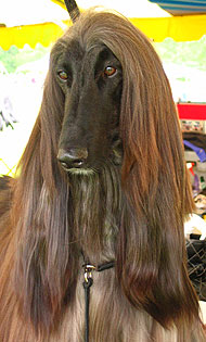 Afghan Hound Dog Hound Dog Breeds From The Online Dog