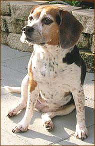 أنواع الكلاب Beagle_id91_01