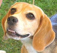 photo of a beagle hound