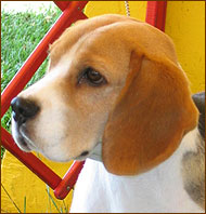 adult beagle dog