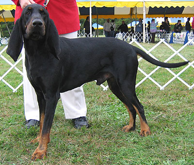 Black and Tan Coonhound | Petsafe