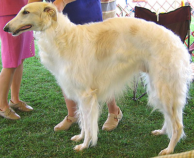 photo of an adult borzoi  hound dog