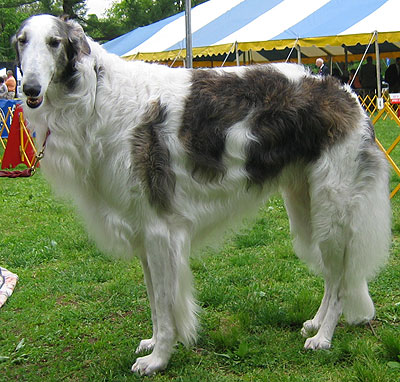 Borzoi Athletic Dogs