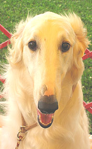 photo of a borzoi hound dog