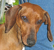 photo of dachshund dog