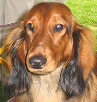 photo of longhaired dachshund dog