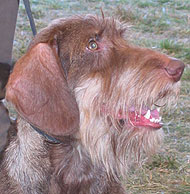 Adult Wirehaired  Dachshund