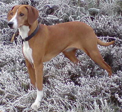 Gotland Hound, Gotlandsstövare hound dog - hound dog breeds from the ...