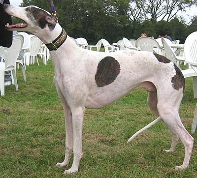 Грейхаунд, или большая английская борзая Greyhound_h03