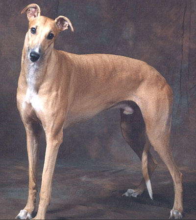 Puppies Breeds on Greyhound Dog   Hound Dog Breeds From The Online Dog Encyclopedia
