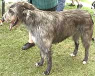 photo of an irish wolfhound dog