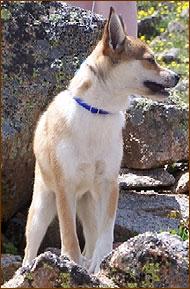 Norwegian Lundehund Hound Dog Hound Dog Breeds From The