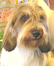 photo of a petit basset griffon vendeen dog
