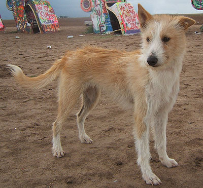 shorthaired portuguese podengo grande dog