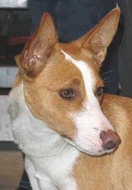 Portuguese Podengo Primitive Breed Dogs Online Dog