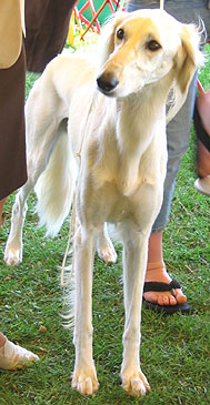 photo of a saluki hound dog