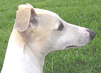 whippet dog breed adult