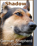 german shepherd collie mixed breed dog