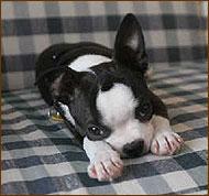 dog breeds working dog breeds choosing a dog world standards mixed