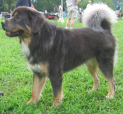 tibetan mastiff dog - molossoid dog breeds from the online dog ...
