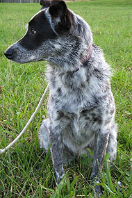 Border Collie Australian Cattle Dog Mixed Breed Dog