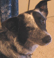 what a border collie australian cattle dog  mixed breed looks like