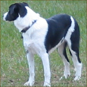 Border Collie Retriever Mixed Breed Dog