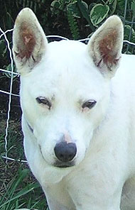Bull Terrier Queensland Heeler Mixed Breed Dog Online