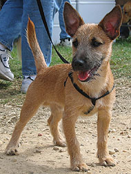 cairn terrier jack russell terrier mixed breed dog - online dog ...