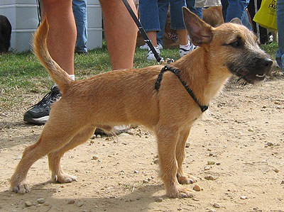 Jack Russell Terrier Mixed Breeds