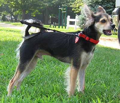 Chihuahua mix dog