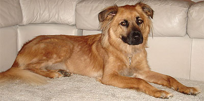 what a chow chow german shepherd mixed breed dog looks like