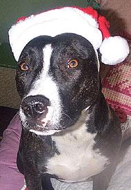 Pitbull Border Collie Mixed Breed Dog Online Dog Encyclopedia