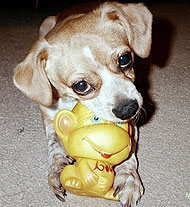 chihuahua mixed breed dog